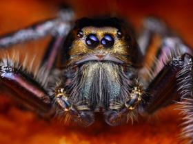 微小跳蛛好似恐怖外星怪物